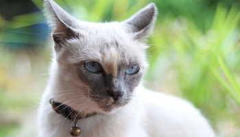 Онкология молочной железы у кошек